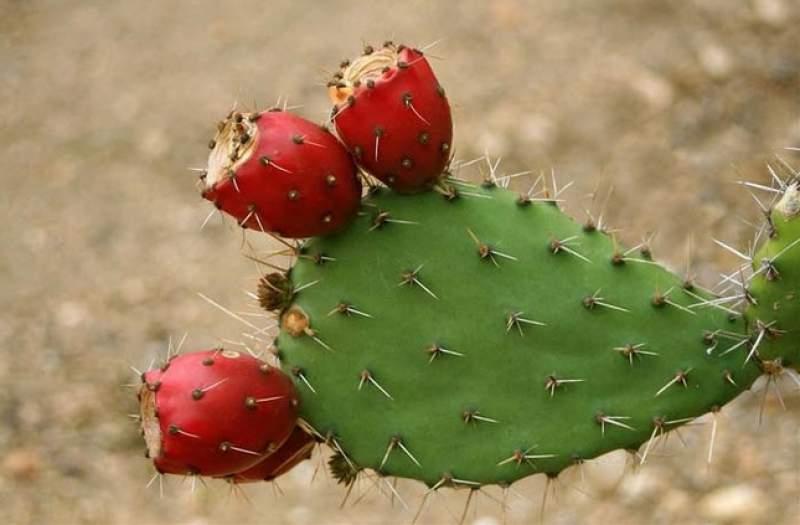 estrarre acqua da un cactus