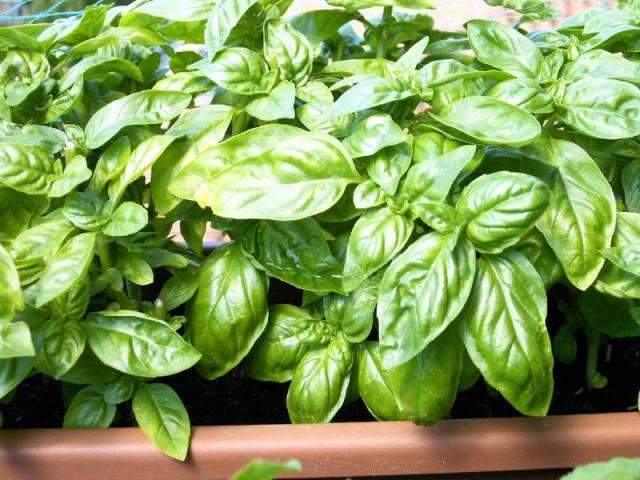 Come si fa a coltivare il basilico nei vasi for Coltivare il basilico