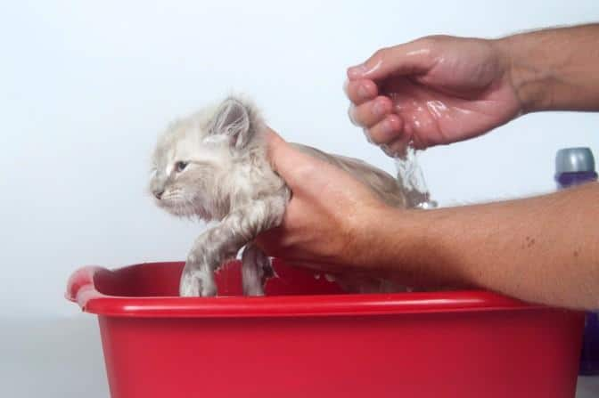 Come si fa a lavare il gatto scopri come fare - Come fare il bagno al gatto ...