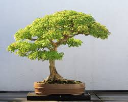 cura-bonsai