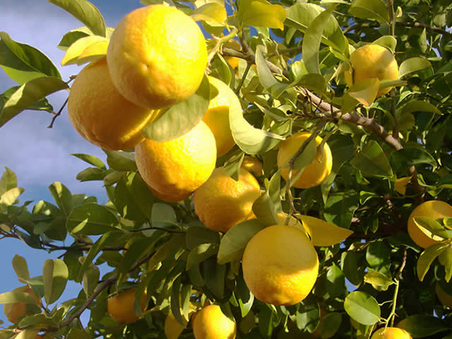Come si pota una pianta di limone scopri for Pianta di limoni in vaso