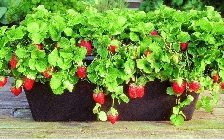 Come coltivare le fragole in vaso scopri for Fragole in vaso