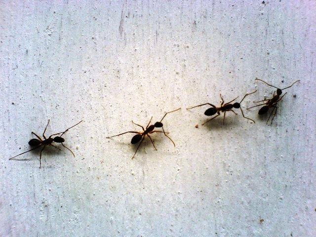 rimedi-contro-le-formiche-in-casa