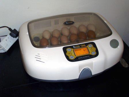 come-far-schiudere-uova-pulcini