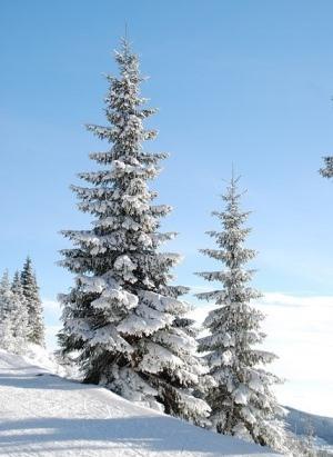 Come scegliere un albero di natale vero o sintetico for Albero di natale vero