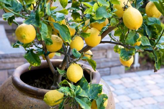 Come coltivare i limoni a casa