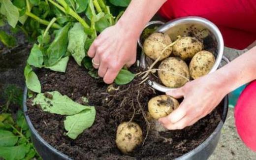 Come coltivare le patate sul balcone di casa for Coltivare sul balcone
