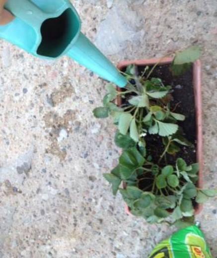Piantine fragole for Fragole piante in vaso