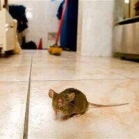 allontanare i topi da casa