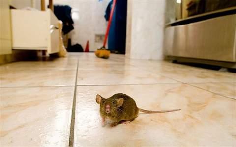 Come eliminare Topi e Ratti dal giardino e dalle aree ...