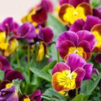 fiori che fioriscono inverno