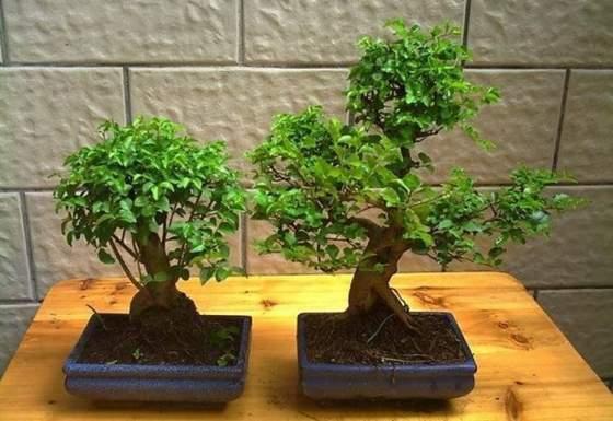 bonsai in casa