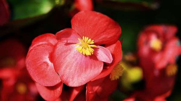 colore rosso con la begonia
