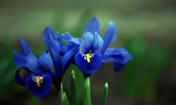 iris colore blu