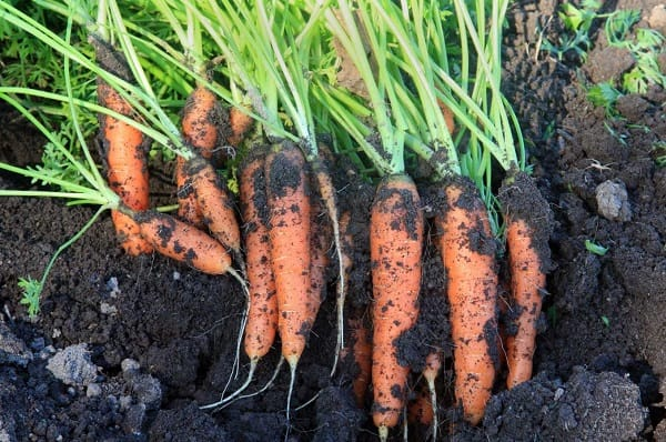 coltivare le carote
