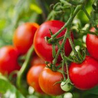 coltivazione di pomodori in casa