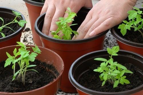 coltivare i pomodori sul balcone di casa