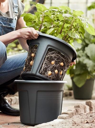 raccolta delle patate in vaso