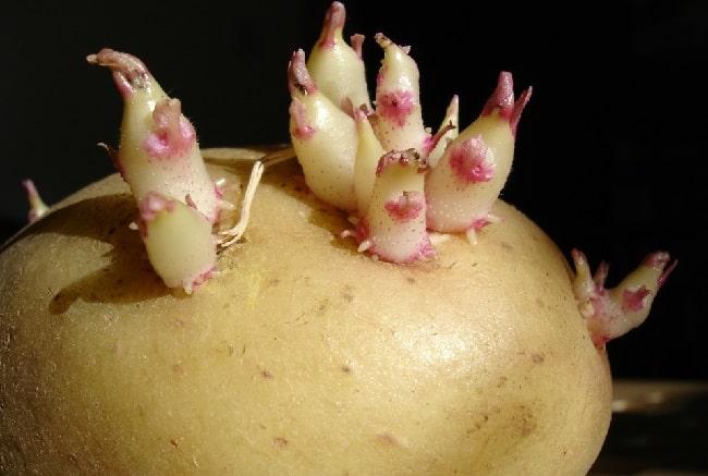 germogli delle patate da seminare
