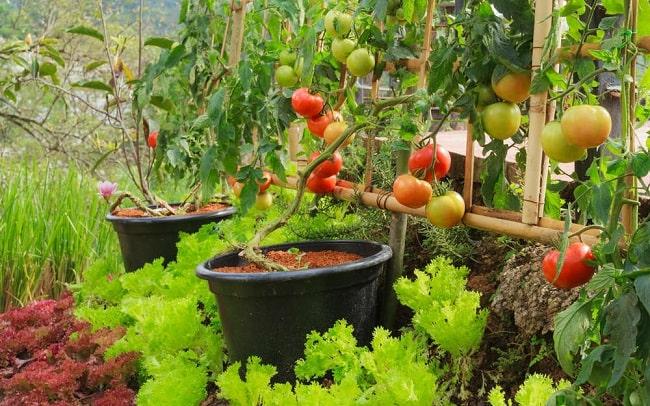 piantare pomodori a giugno