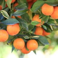come si coltivano le arance