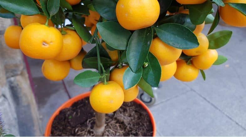 coltivare le arance