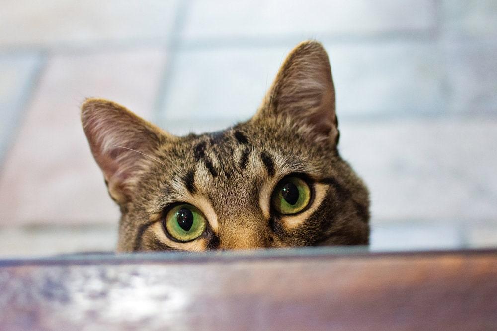 come fare la puntura al gatto