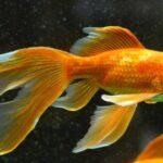 come accudire il pesce rosso