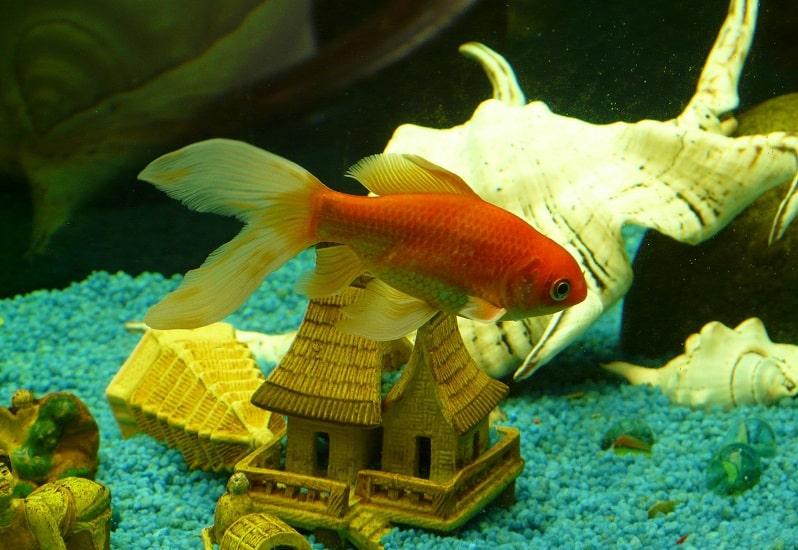 curare un pesciolino rosso